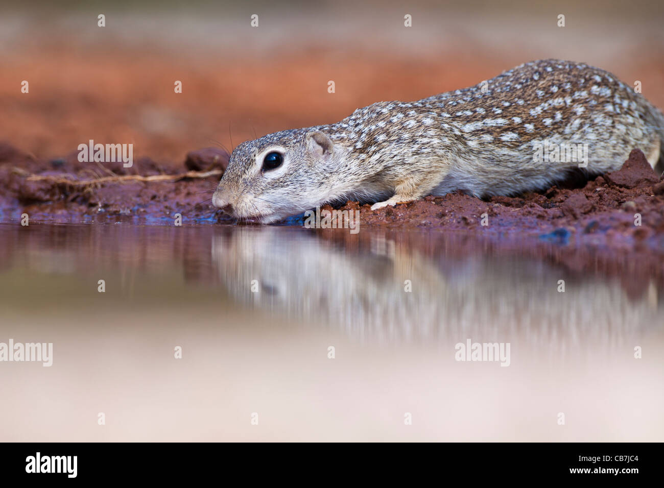 Mexican Ground Squirrel, Spermophilus mexicanus, at a pond in South Texas. Stock Photo