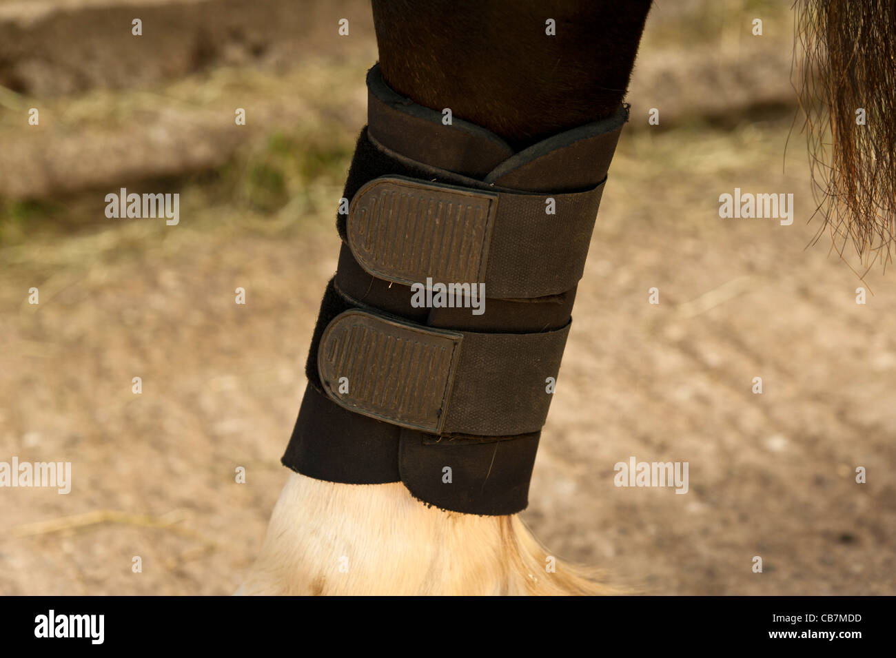detail of leg wrap on a horse.landscape format - Stock Image