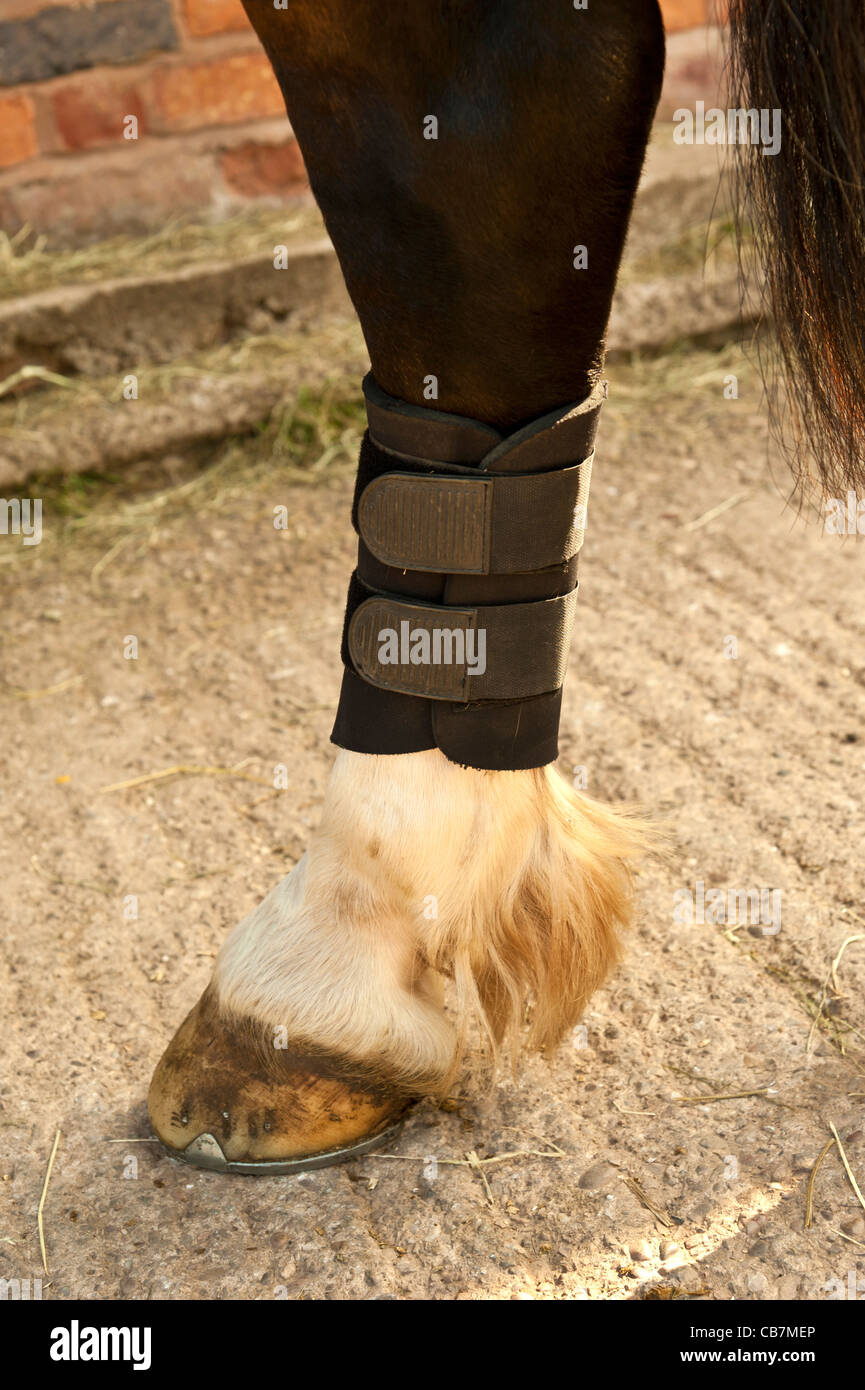 leg wraps on horses front legs.upright format - Stock Image