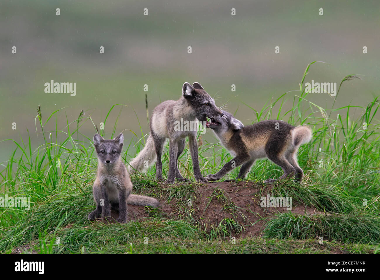 Arctic fox (Vulpes lagopus / Alopex lagopus) adult and cub begging for food at den on the tundra in summer, Lapland, - Stock Image