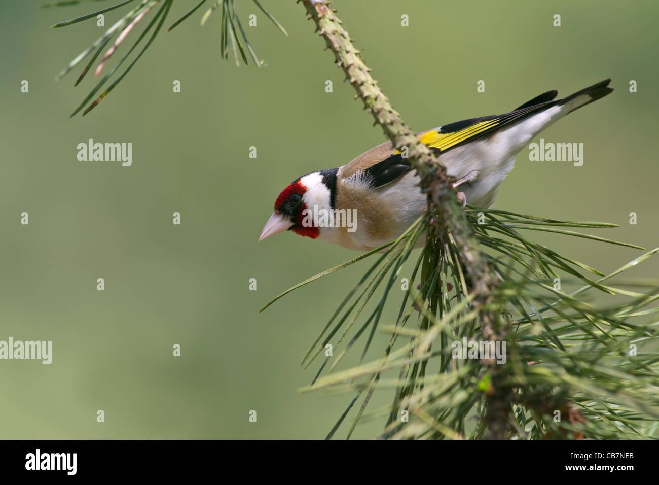 European Goldfinch (Carduelis carduelis) - Stock Image