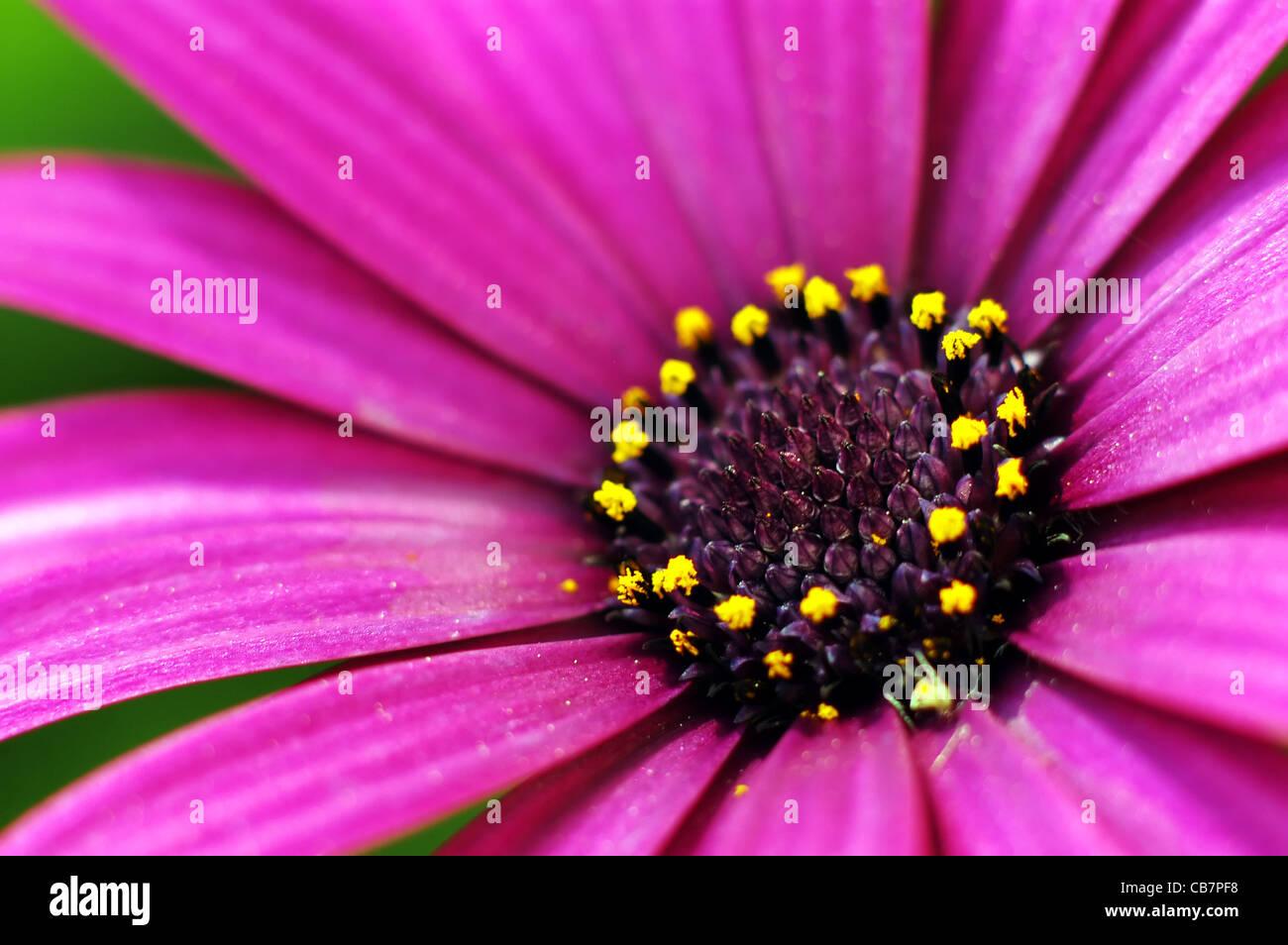 Photo of beautiful purple daisy flower stock photos photo of a closeup photo of a purple daisy flower stock image izmirmasajfo