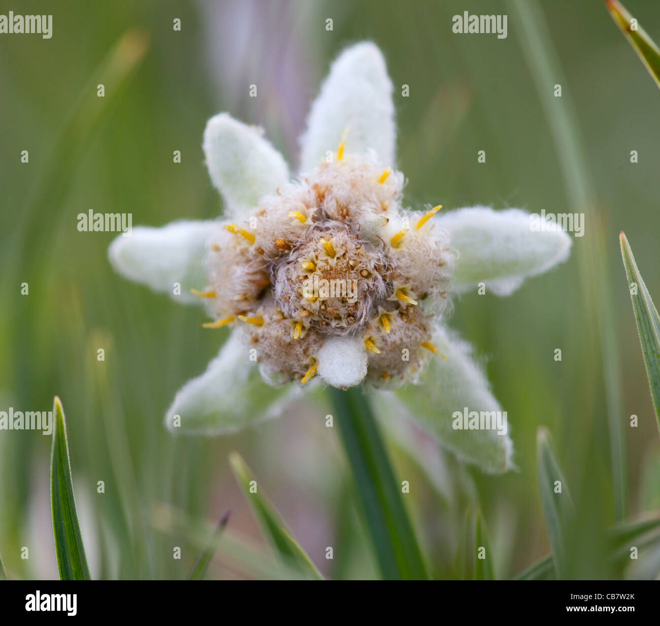 Edelweiss Stock Photos & Edelweiss Stock Images