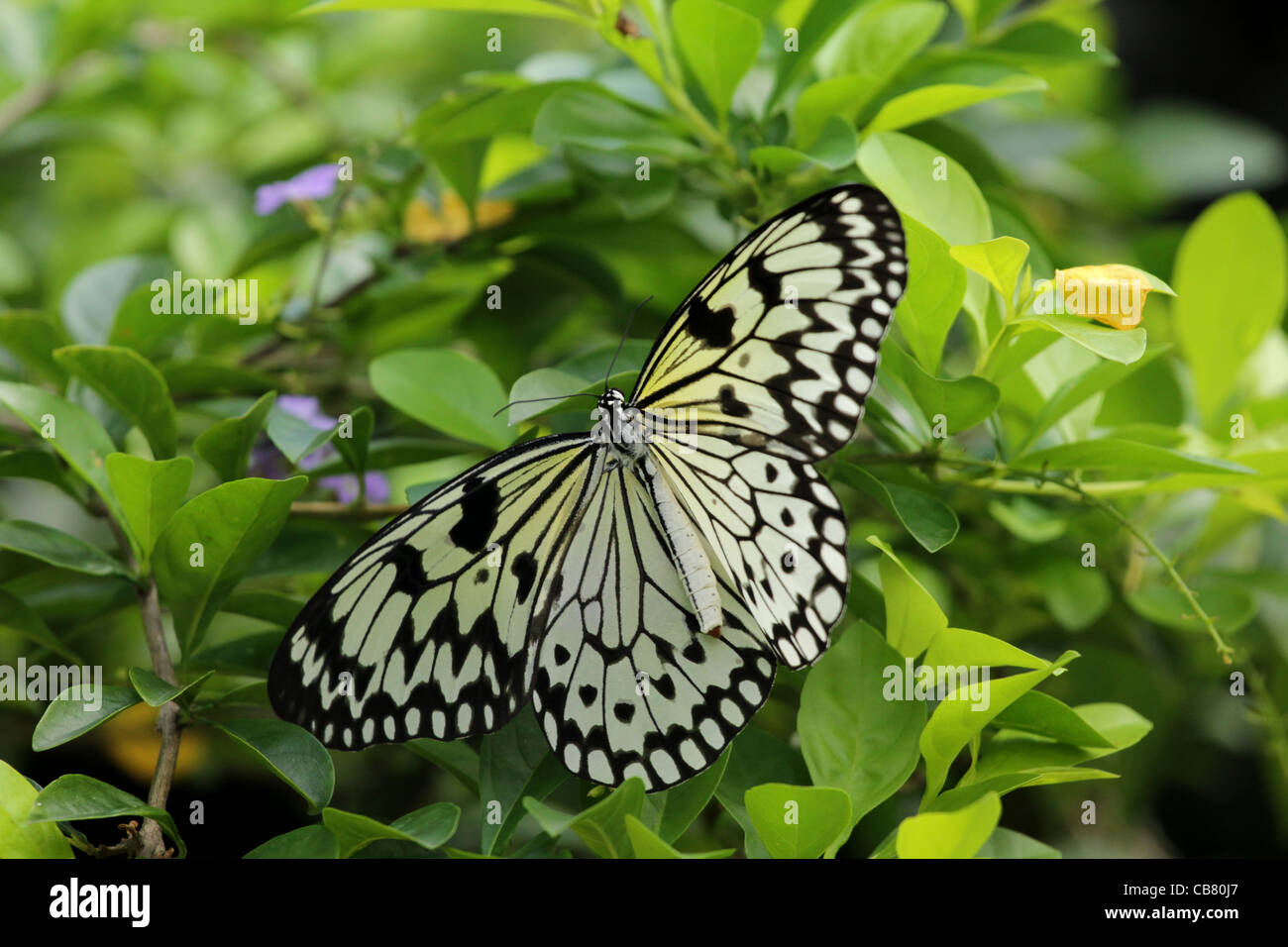 The Paper Kite, Rice Paper, or Large Tree Nymph butterfly (Idea leuconoe) - Stock Image