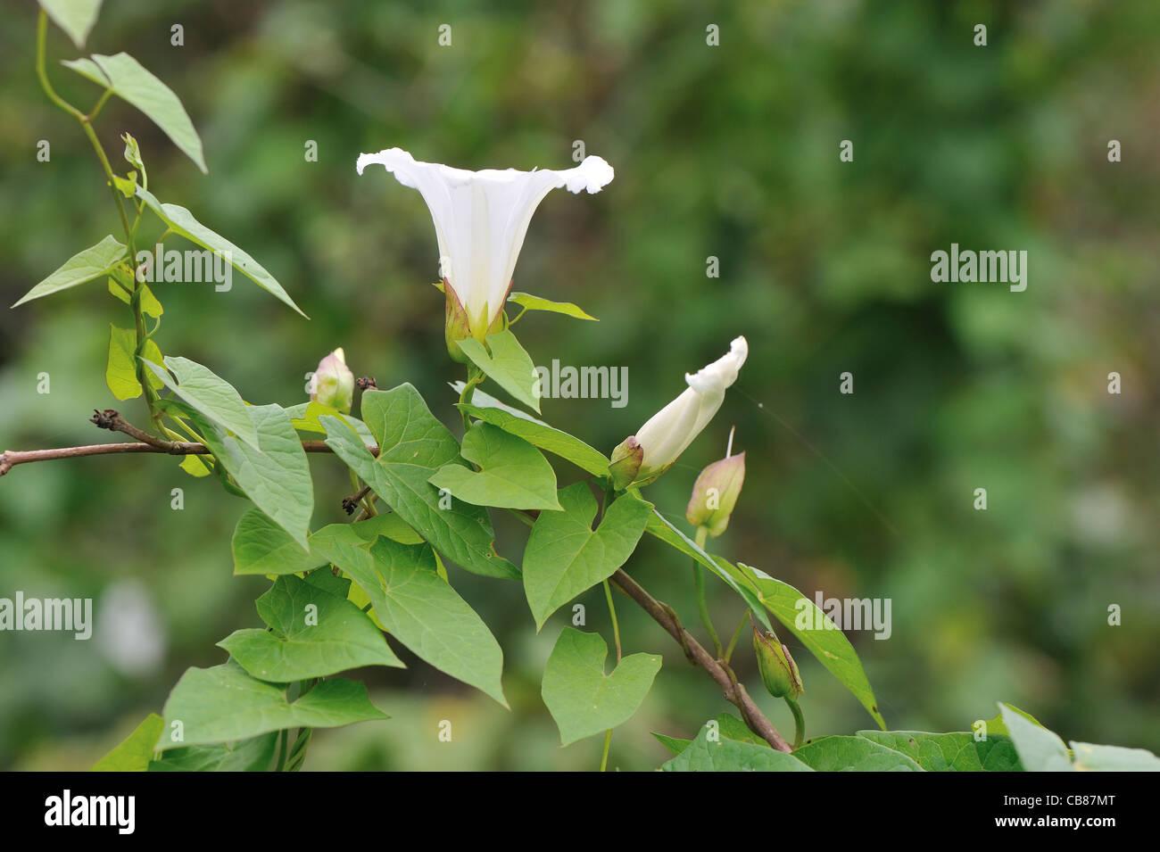 Hedge bindweed - Larger bindweed (Calystegia sepium - Convolvulus sepium) twining around another plant - Stock Image
