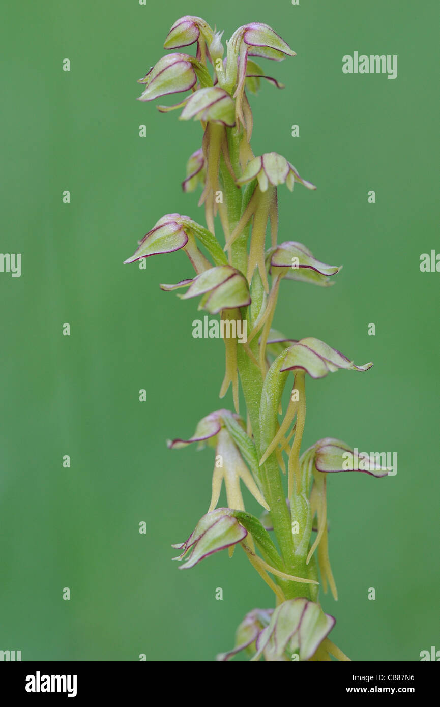Man orchid (Aceras anthropophorum - Orchis anthropophora) flowering at spring - Stock Image
