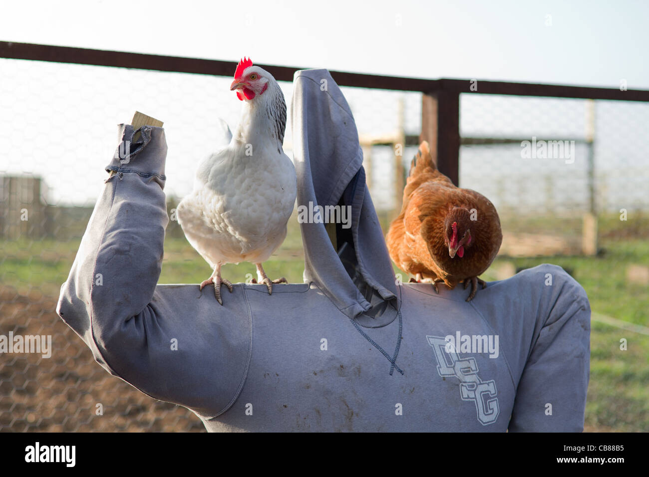 Two chickens stood on a scarecrow - Stock Image