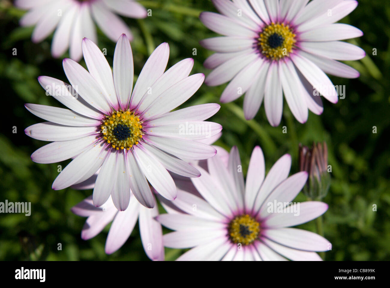 The Delicate Flowers Of The Daisy Like Osteospermum Open In The