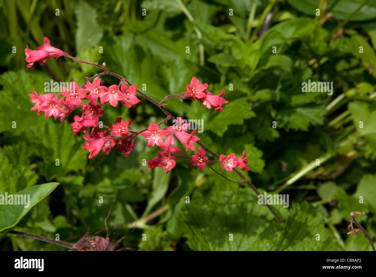 Tiny coral pink flowers of a heuchera plant stock photo 41366026 tiny coral pink flowers of a heuchera plant mightylinksfo