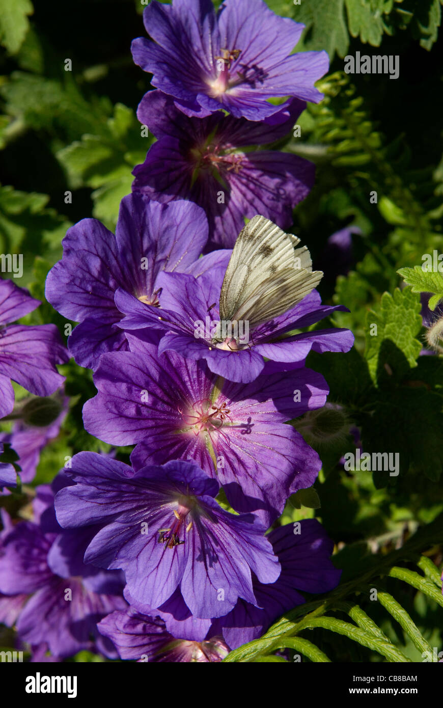 A green-veined white butterfly feeds on the striking dark blue flowers of the 'Johnson's Blue' geranium - Stock Image