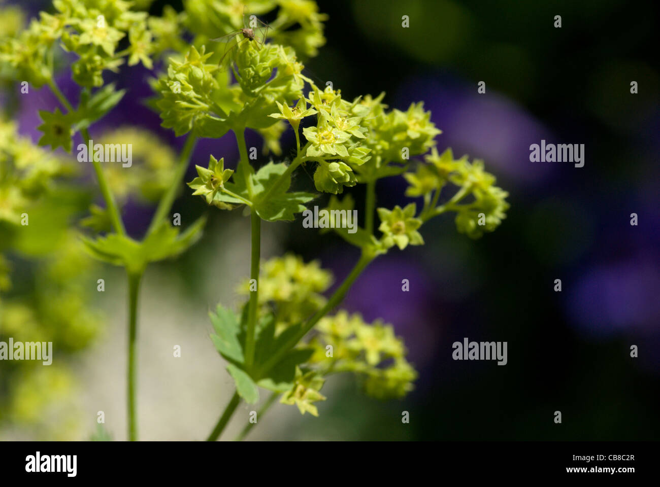 Tiny starry pale green flowers open on an Alchemilla mollis or Lady's Mantle - Stock Image