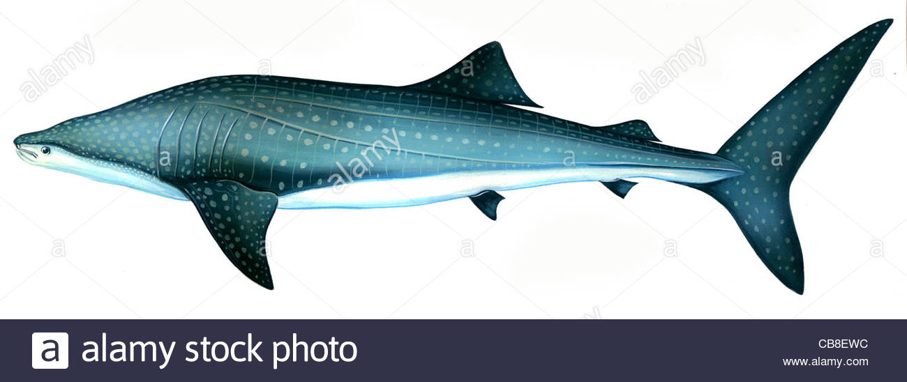 Picture Of Whale Fish | Series Fish Whale Shark Rhincodon Type Sharks Fish Fish Pisces Stock