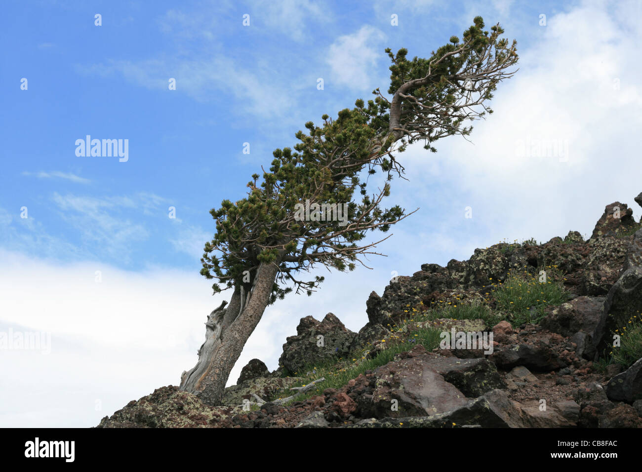 mountain pine tree above 11,000 feet on the San Francisco Peaks bent over by the wind and harsh weather - Stock Image