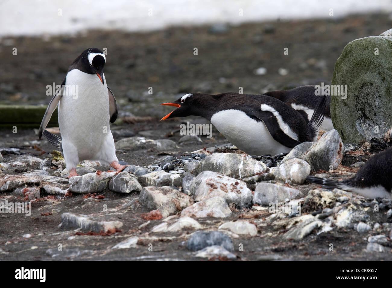 Gentoo Penguin (Pygoscelis papua) protecting nest against intruder on Barrientos Island, South Shetland Islands, - Stock Image