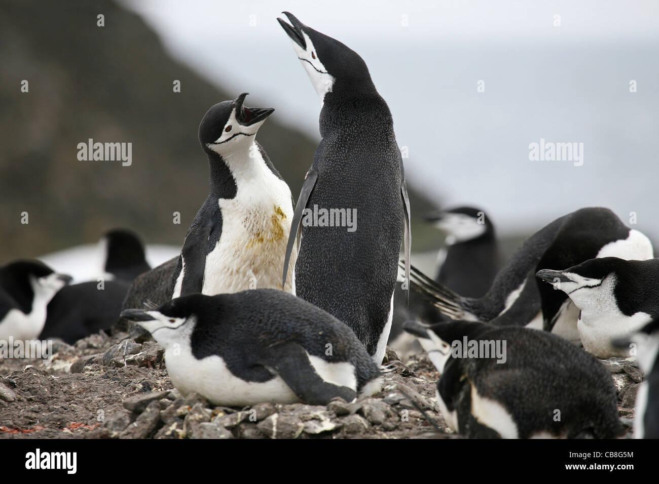 Chinstrap penguin (Pygoscelis antarcticus) protecting nest against intruder, South Shetland Islands, Antarctica - Stock Image