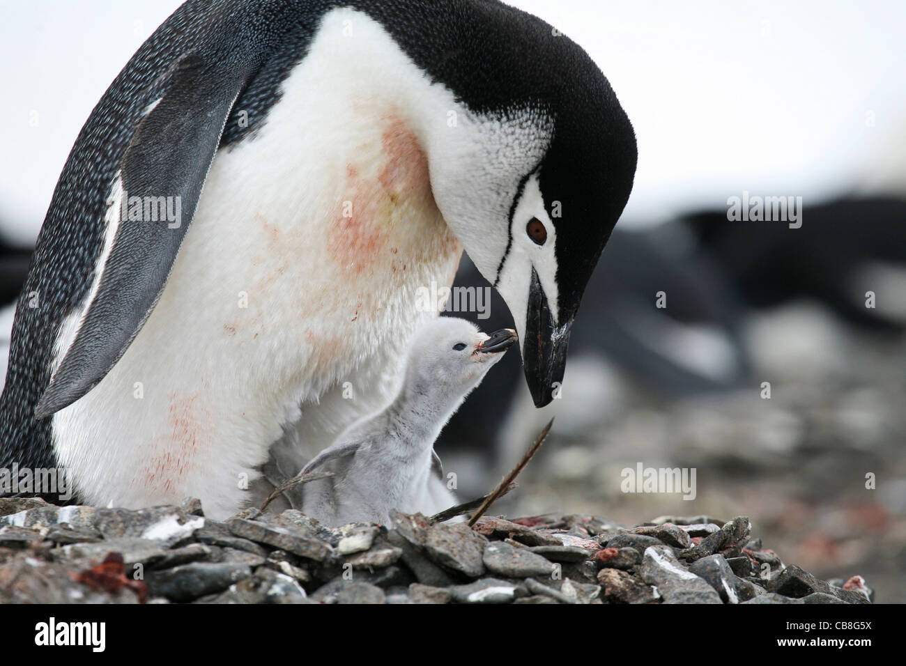 Chinstrap penguin (Pygoscelis antarcticus) with chick on nest in rookery on Barrientos Island, South Shetland Islands, - Stock Image