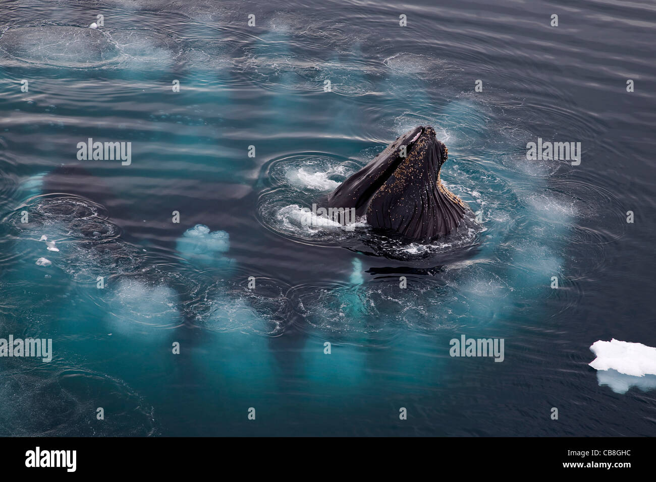 Humpback whales (Megaptera novaeangliae) bubble net feeding by blowing ring of air bubbles at Wilhelmina Bay, Antarctica - Stock Image
