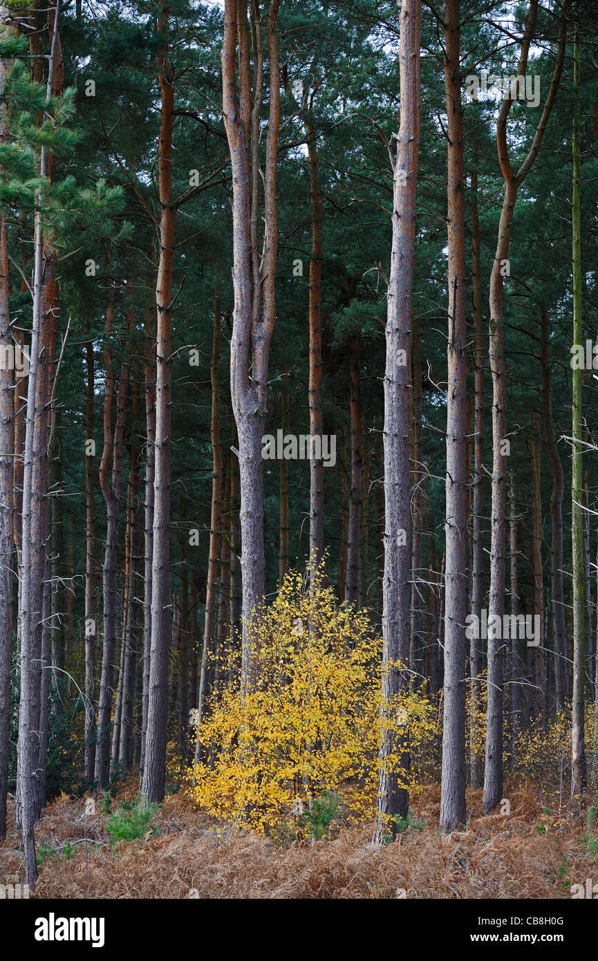 Medium sized pine trees grow tall around a smaller tree with its leaves changing into their autumn colour. - Stock Image