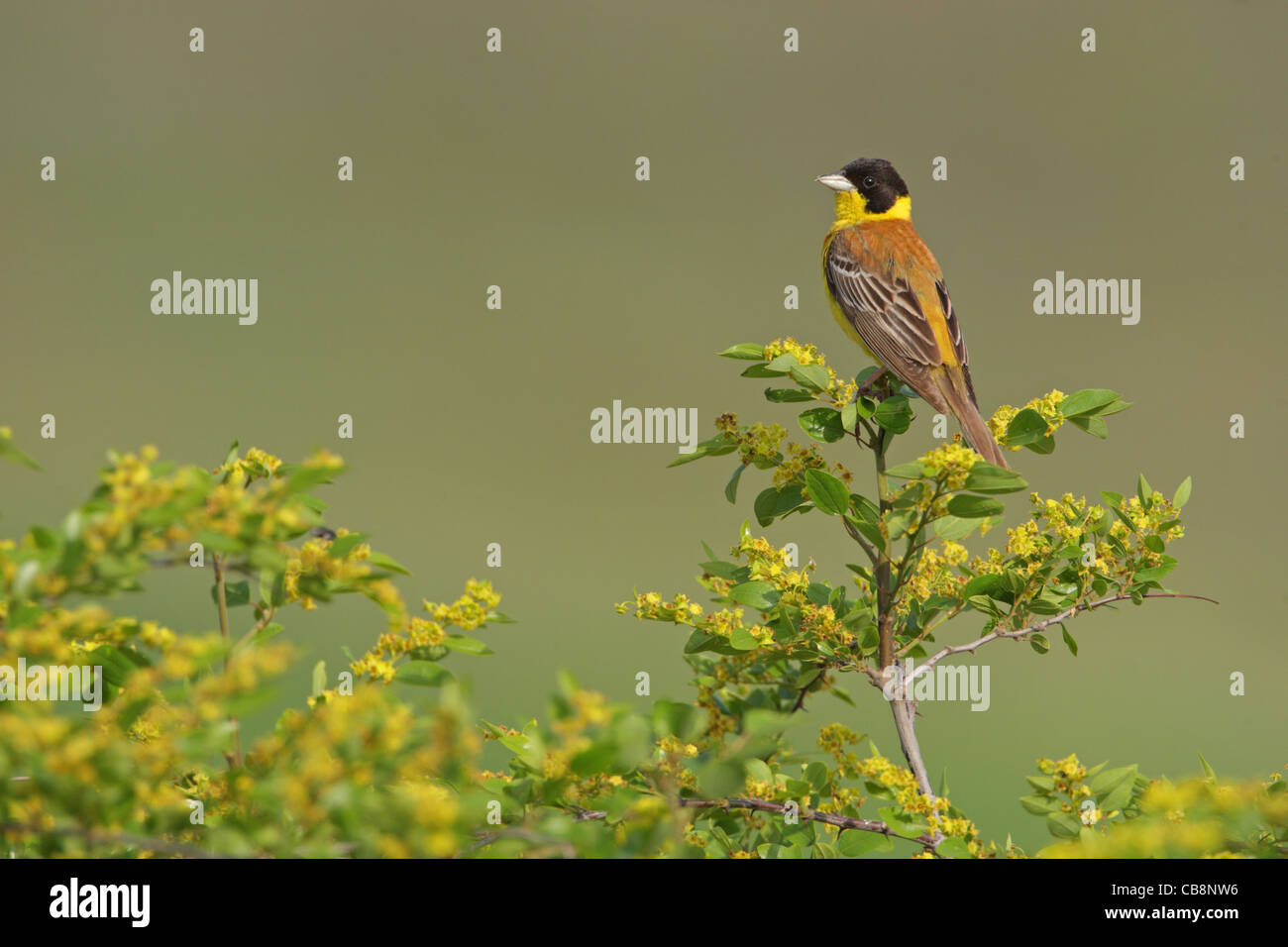 Black-headed Bunting /Emberiza melanocephala/, finches, Fringillidae, male, Bulgaria Stock Photo