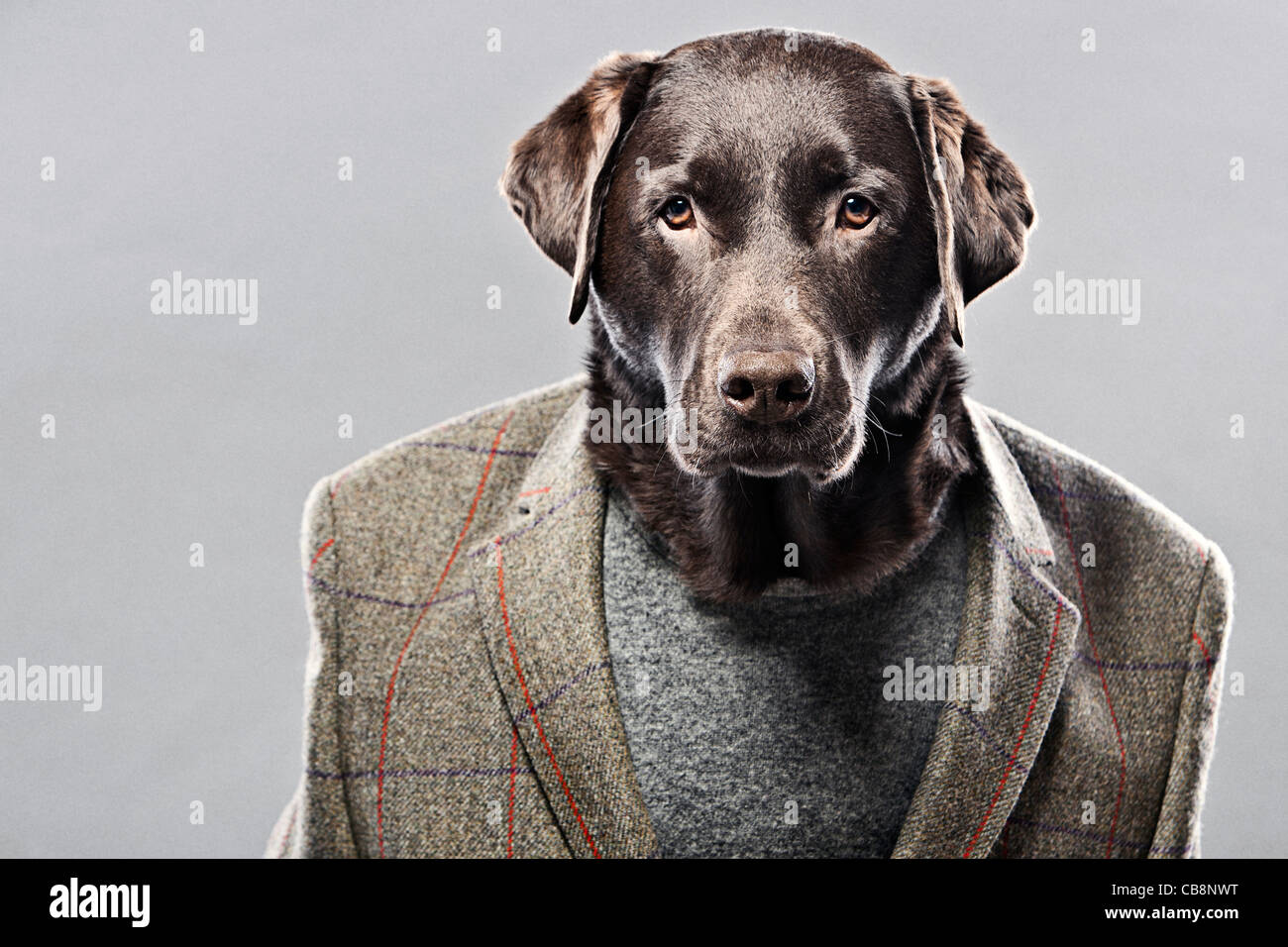 Chocolate Labrador in Hunting Jacket - Stock Image