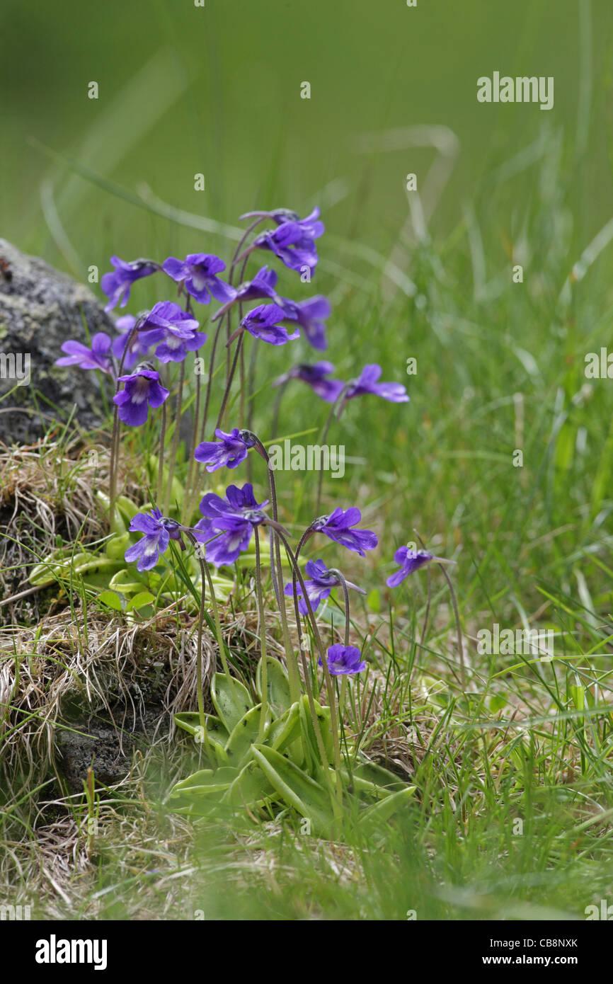 Pinguicula balcanica, Balkanian butterwort, carnivorous subalpine plant, endemic to the Balkans, Bulgaria - Stock Image