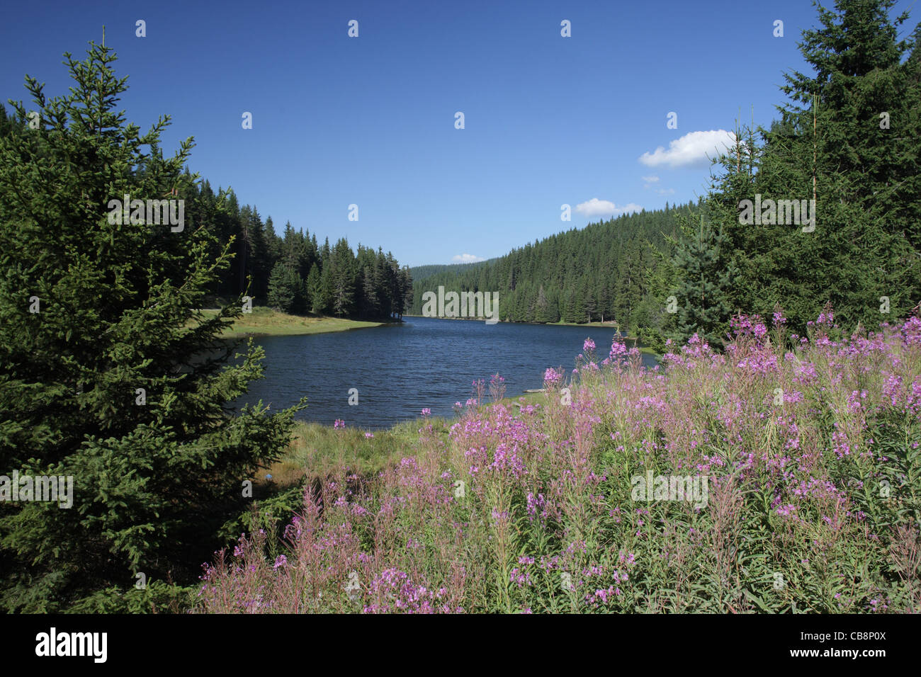 Summer scenery with flowering plants in spruce forest and a dam, Rodopi (Rhodopi) Mountain, Bulgaria - Stock Image