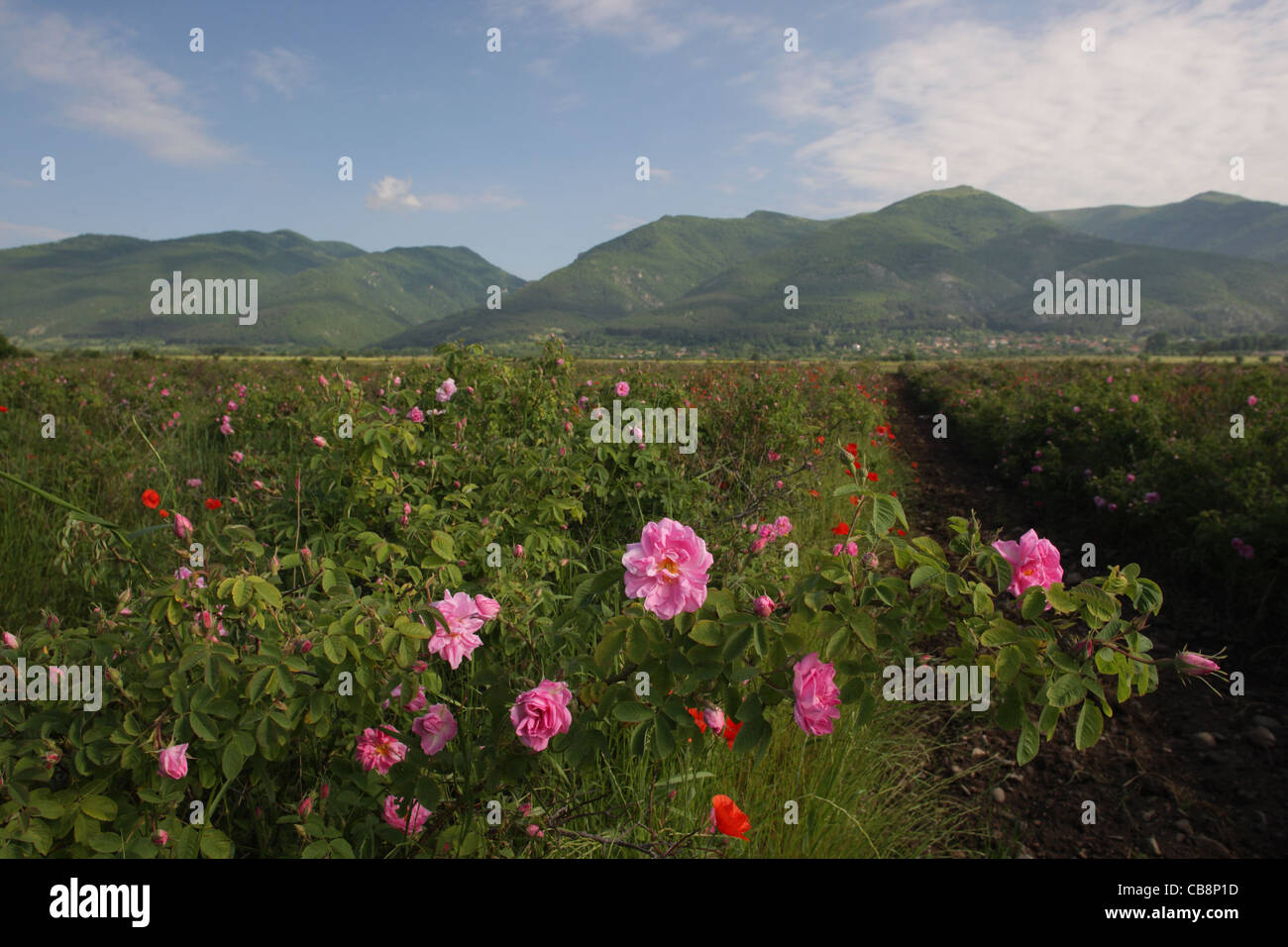 Landscape with Rosa damascena field (Damask Rose,Bulgarian Rose) near Central Balkan National Park and town of Kazanlak,Bulgaria - Stock Image