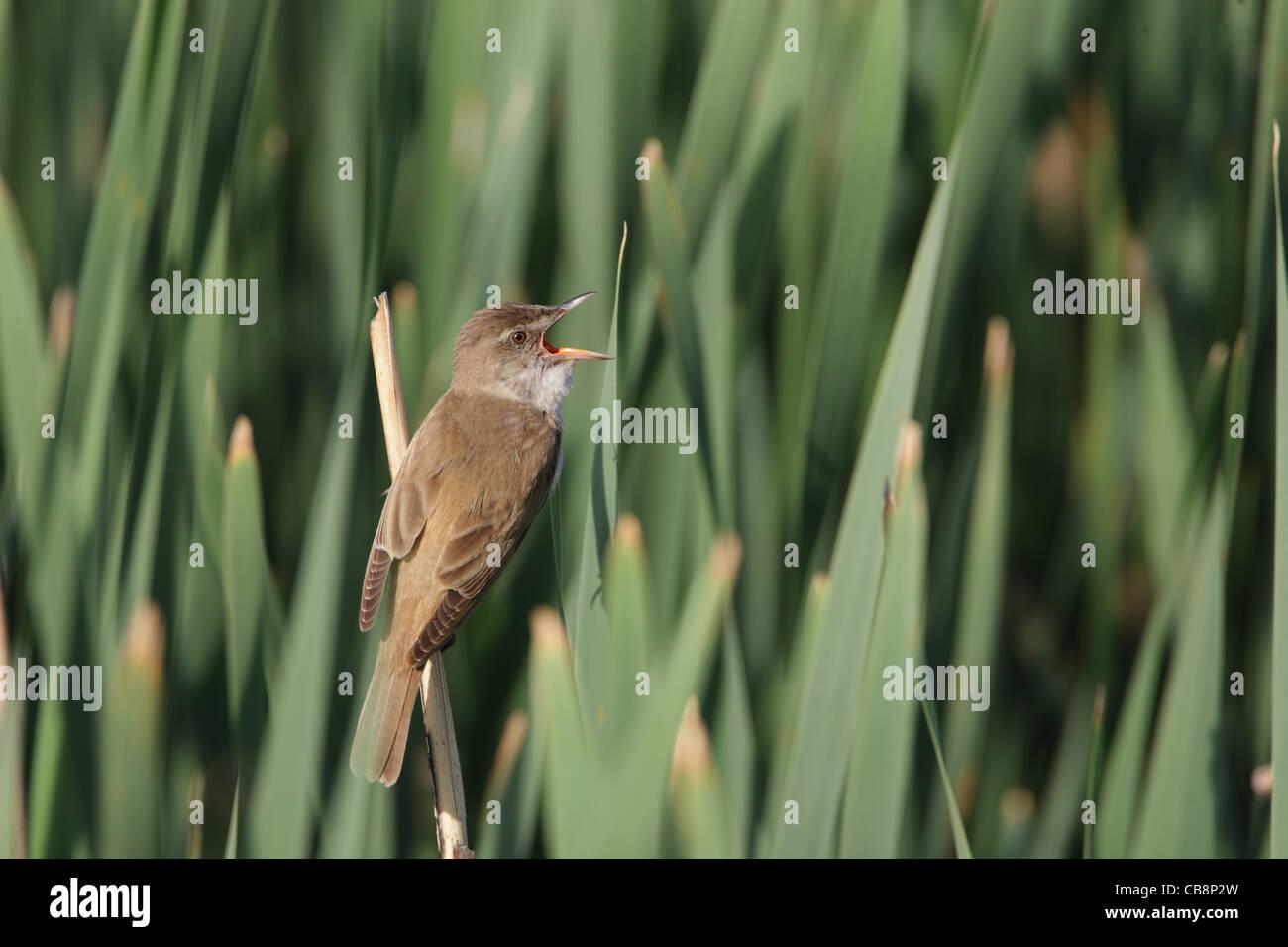 Great Reed Warbler, /Acrocephalus arundinaceus/ Stock Photo
