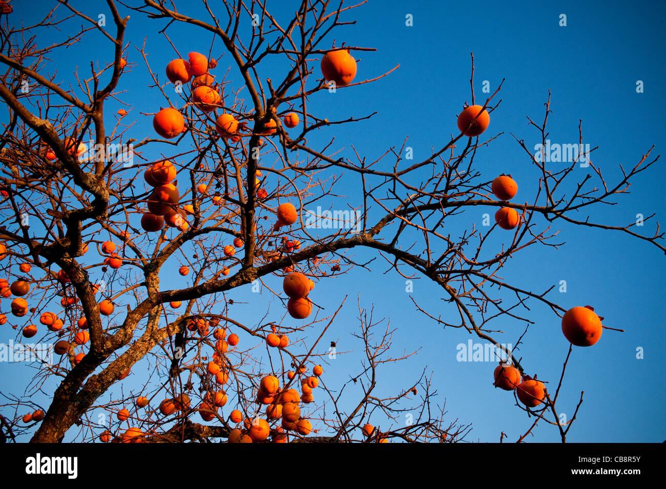 Persimmon fruit tree, in late autumn, Umbria, Italy - Stock Image