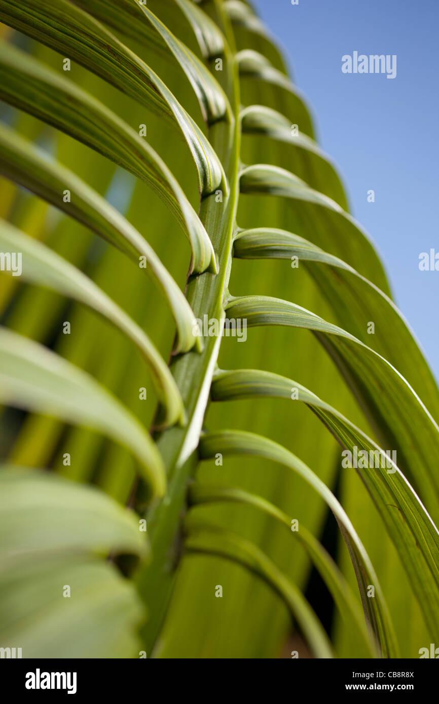 palm leaf - Stock Image