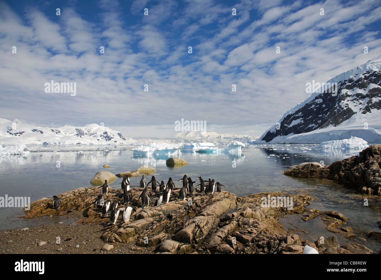 Gentoo Penguins (Pygoscelis papua) at penguin colony and icebergs in Antarctic sea at Neko Harbour, Andvord Bay, - Stock Image