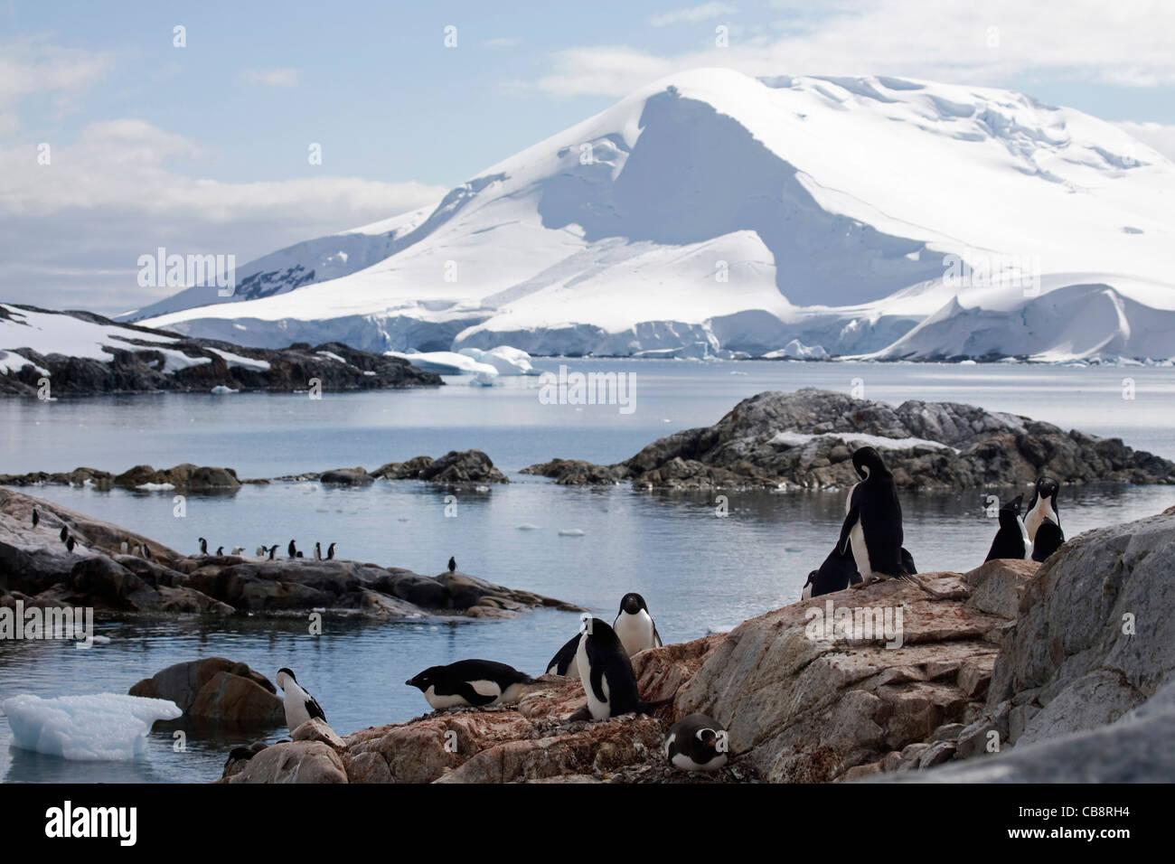 Adélie Penguin (Pygoscelis adeliae) colony on Petermann Island, Antarctica - Stock Image