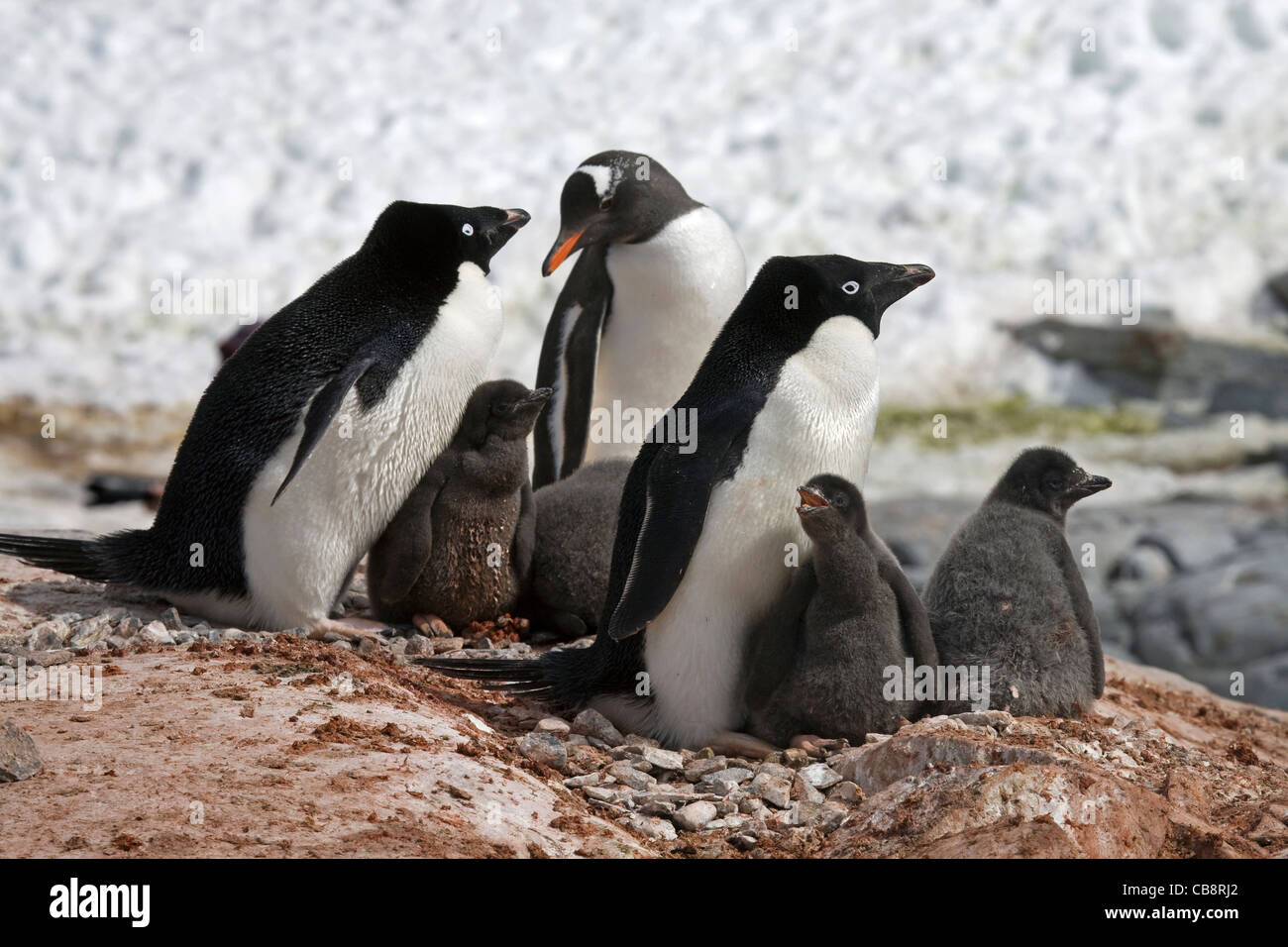Gentoo Penguin (Pygoscelis papua) intruding Adélie Penguins (Pygoscelis adeliae) colony with chicks on nest, - Stock Image