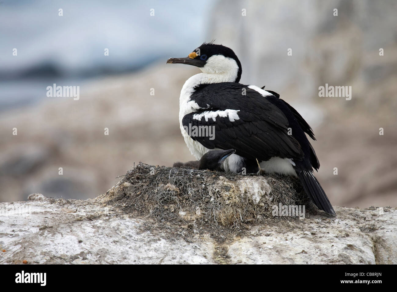 Blue-eyed shag / Imperial  / Antarctic Shag (Phalacrocorax atriceps / bransfieldensis) with chicks on nest, Antarctica Stock Photo