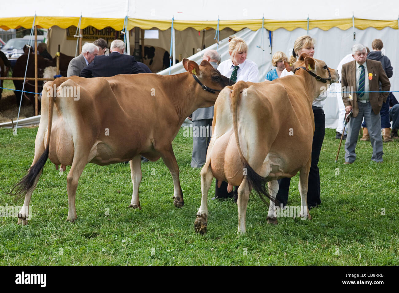 Milking Cows at Agricultural Show, Nottinghamshire, UK Stock