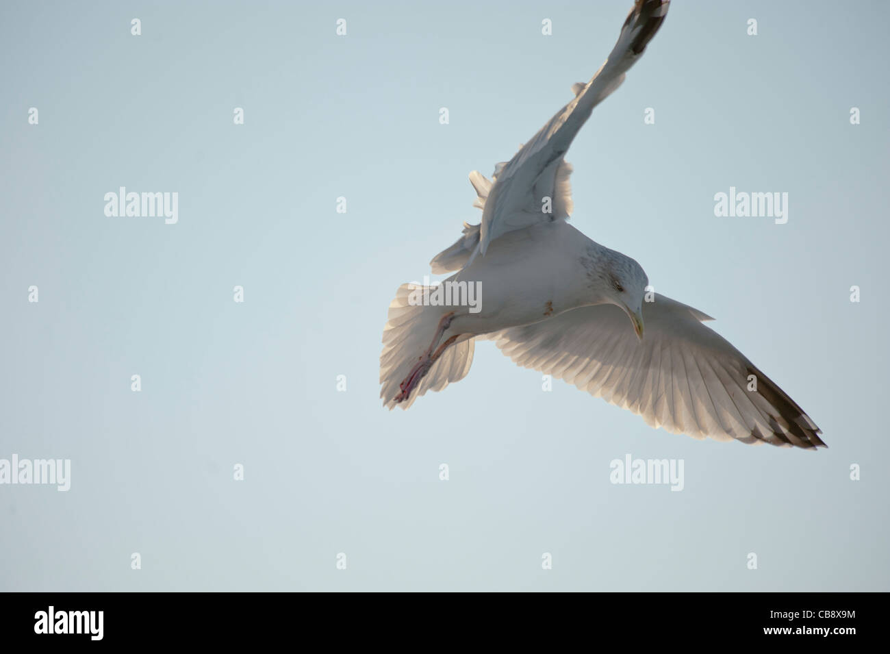 Seagull in flight - Stock Image