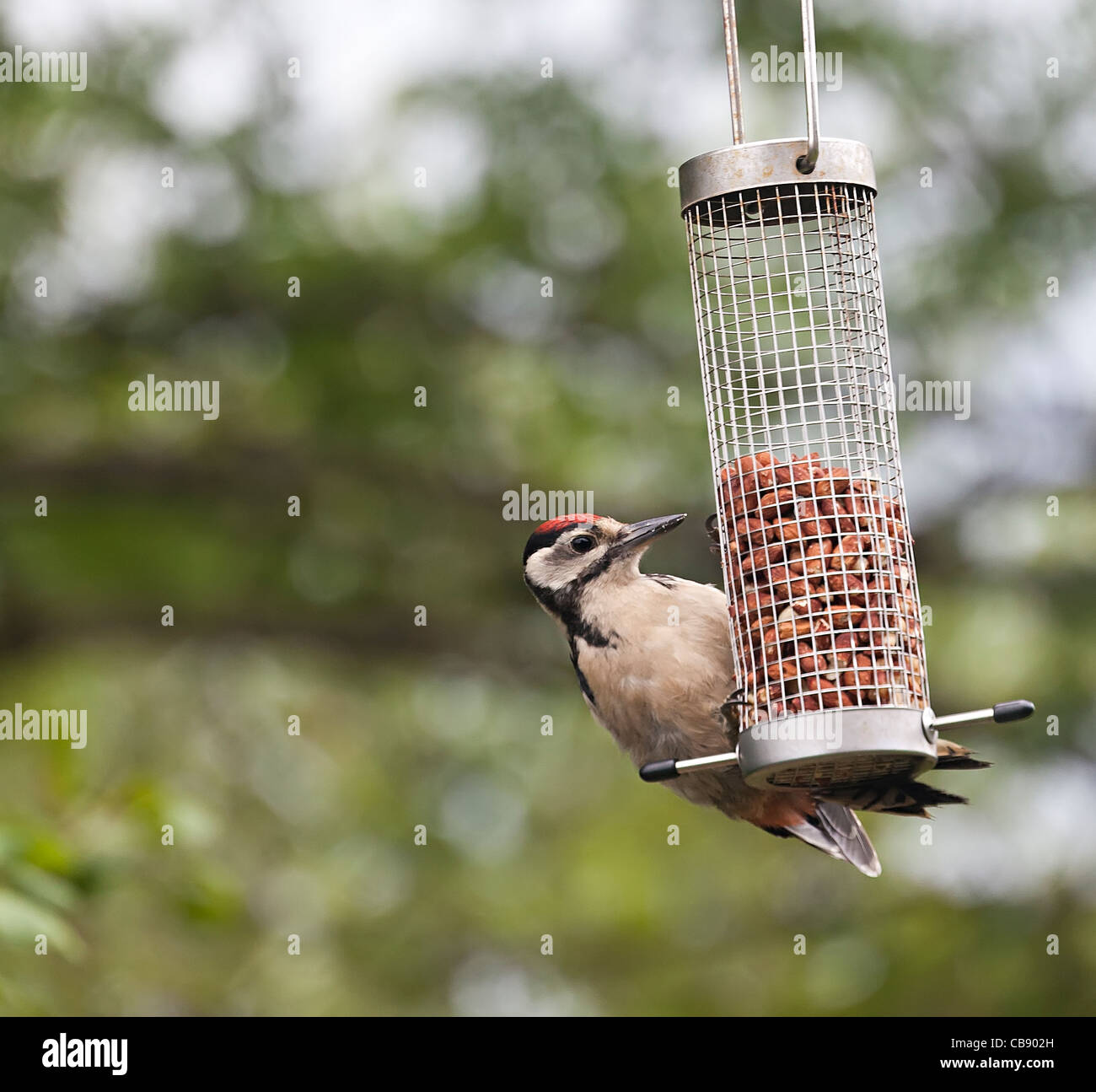 Great Spotted Woodpecker Dendrocopos major eating peanuts on domestic bird feeder Wales UK - Stock Image