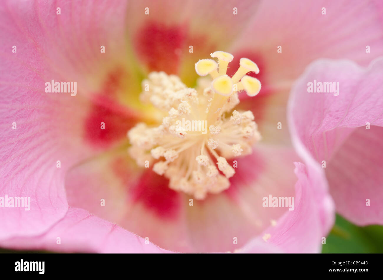 Detail of a beautiful pink hibiscus flower, - Stock Image