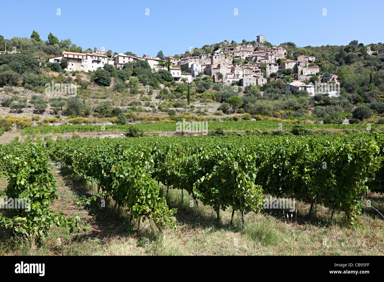 Vines Vieussan southern France - Stock Image