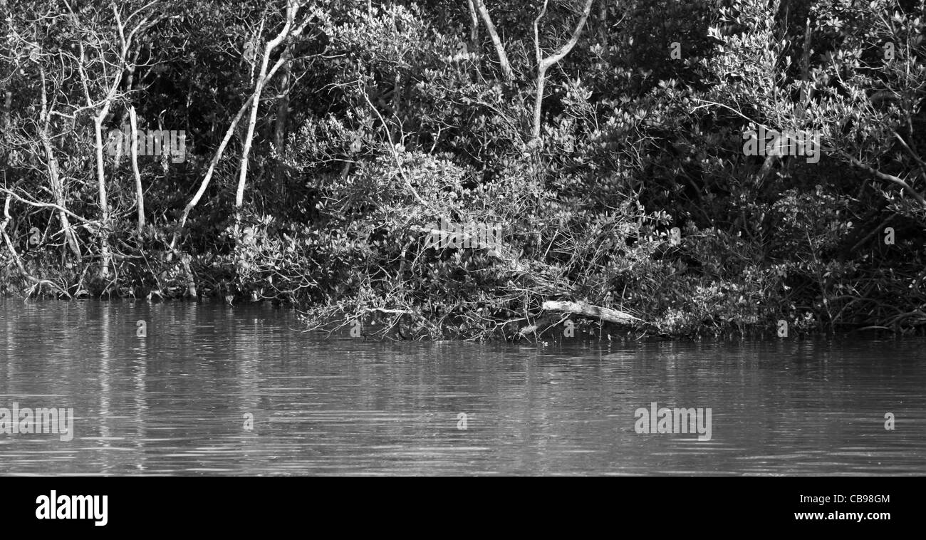 Mangroves, Black and White, 10,000 Islands, Gulf of Mexico, - Stock Image