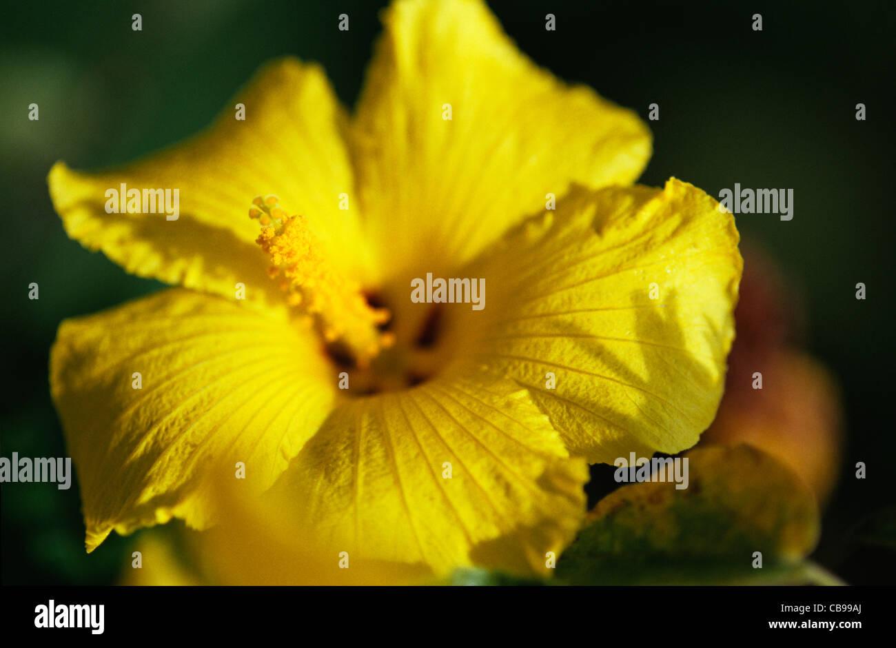 Hawaii Kauai Mao Hau Hele Hawaii State Flower Hibiscus Stock