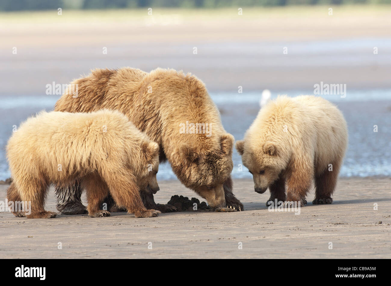 Stock photo of an Alaskan brown bear clamming with her cubs. Stock Photo