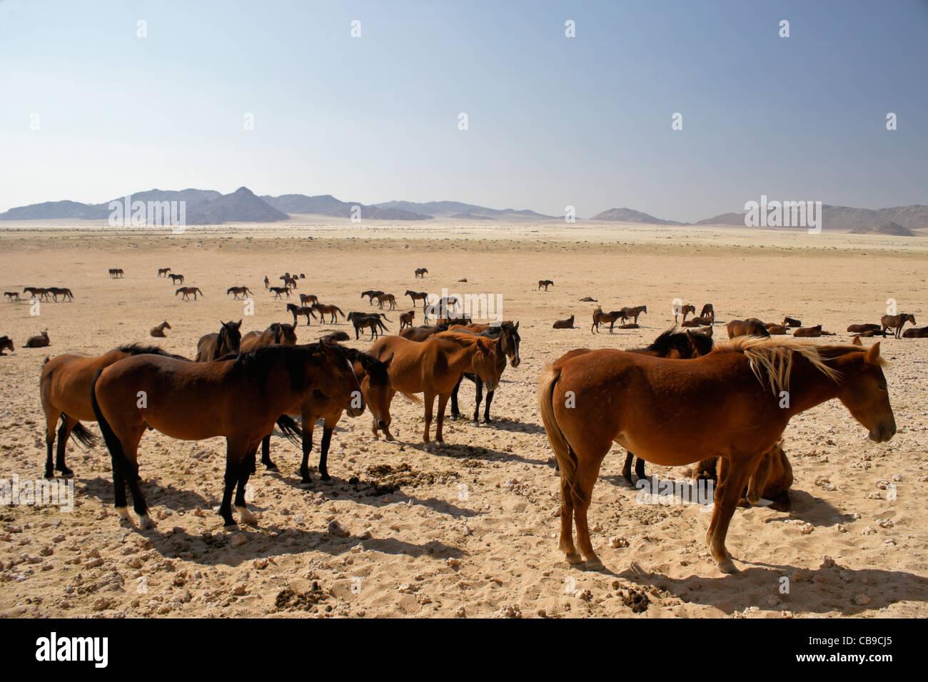 Garub Namib feral horses near Aus, Namibia - Stock Image