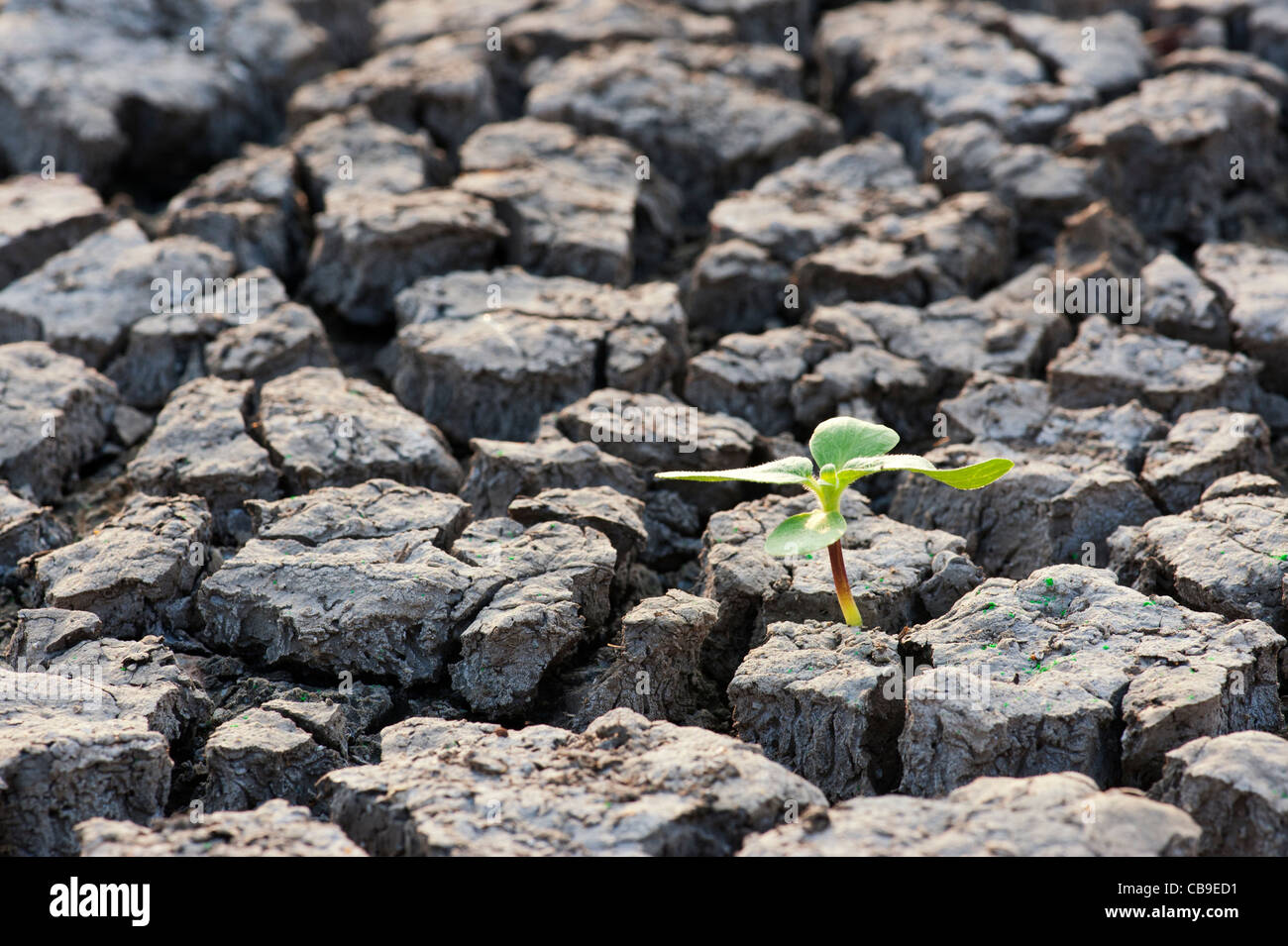 Plant seedling growing the the dry cracked earth in india - Stock Image