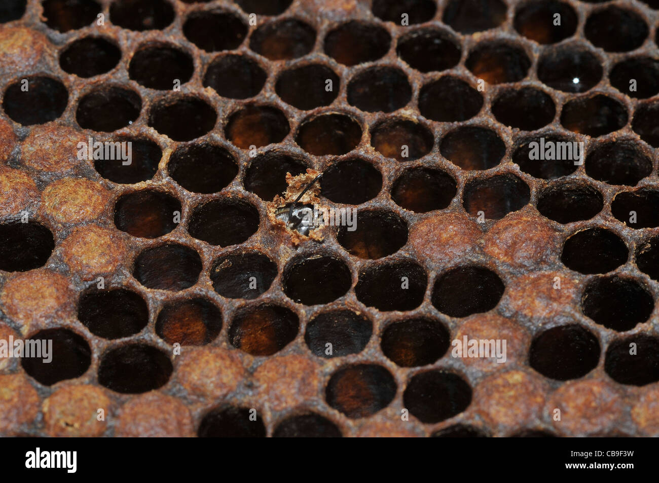 honeybee emerges from a Honeycomb - Stock Image