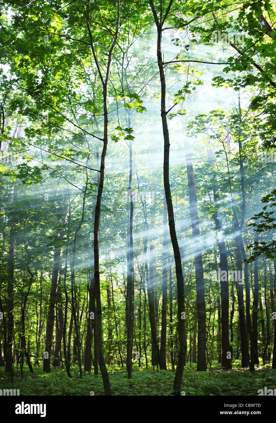 The sun's rays shining through the trees in the forest. Stock Photo