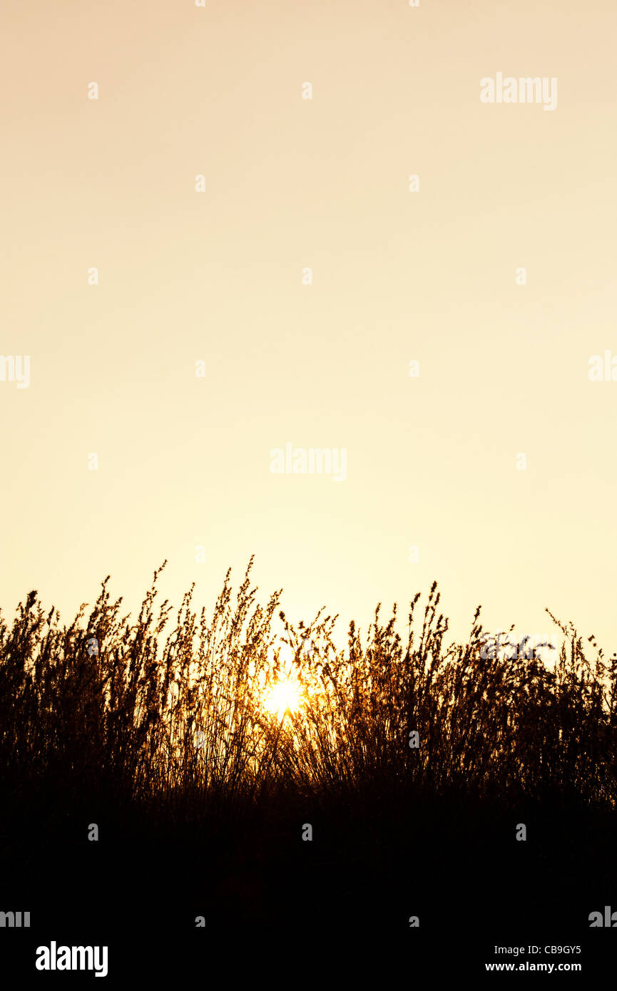 Indian grasses in the countryside at sunset. Andhra Pradesh, India. Silhouette Stock Photo