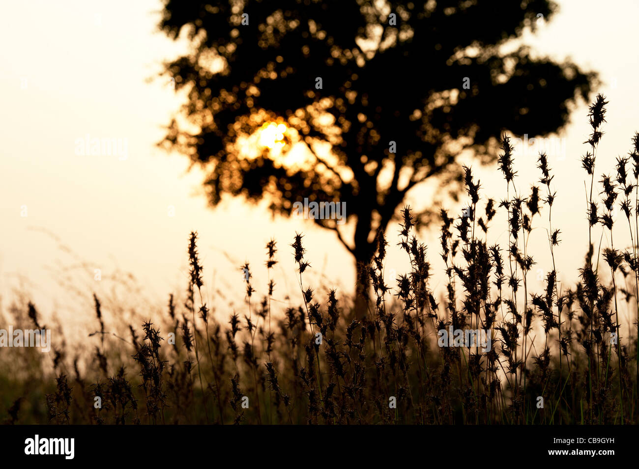Indian tree and grasses in the countryside at sunset. Andhra Pradesh, India. Silhouette - Stock Image