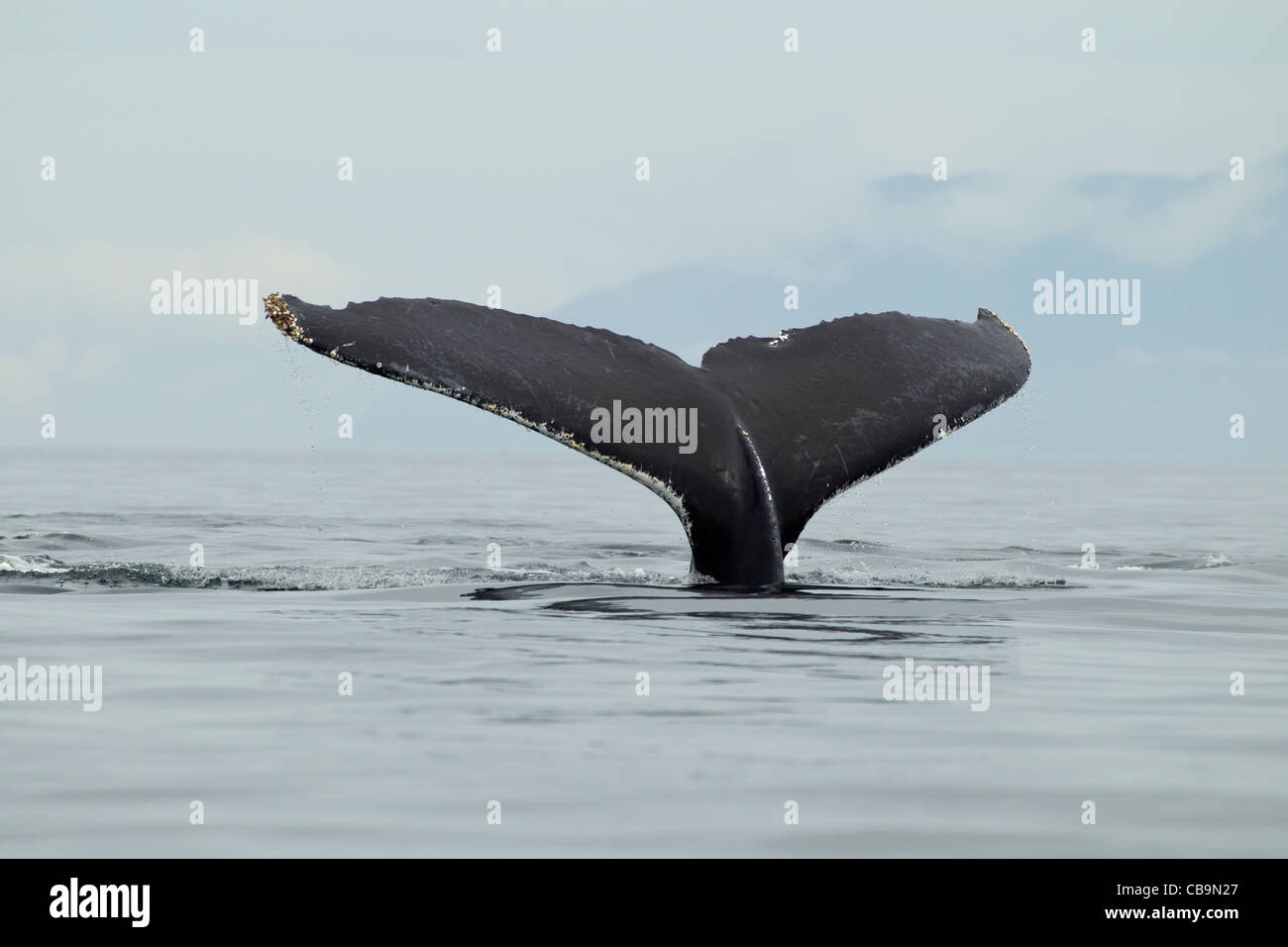 Humpback Whale Fluking, Sounding - Stock Image
