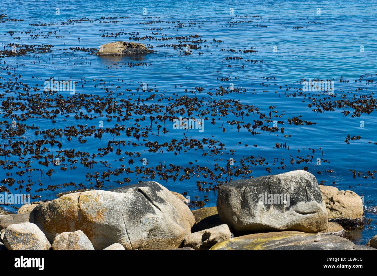 Kelp, a brown marine algae, Table Mountain National Park Marine Protected Area south of Cape Town South Africa - Stock Image